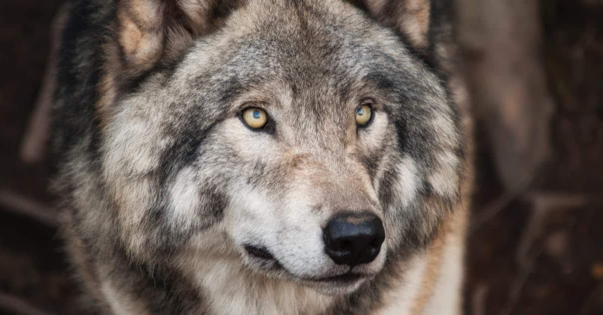 A close up of a wolf looking at the camera