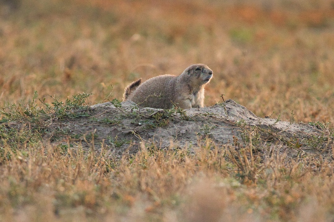 A squirrel standing on a grassy field